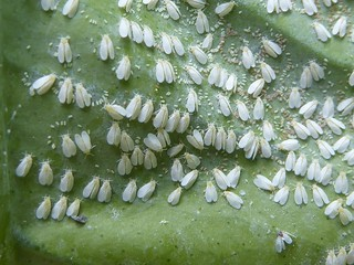 Whitefly | by epitree