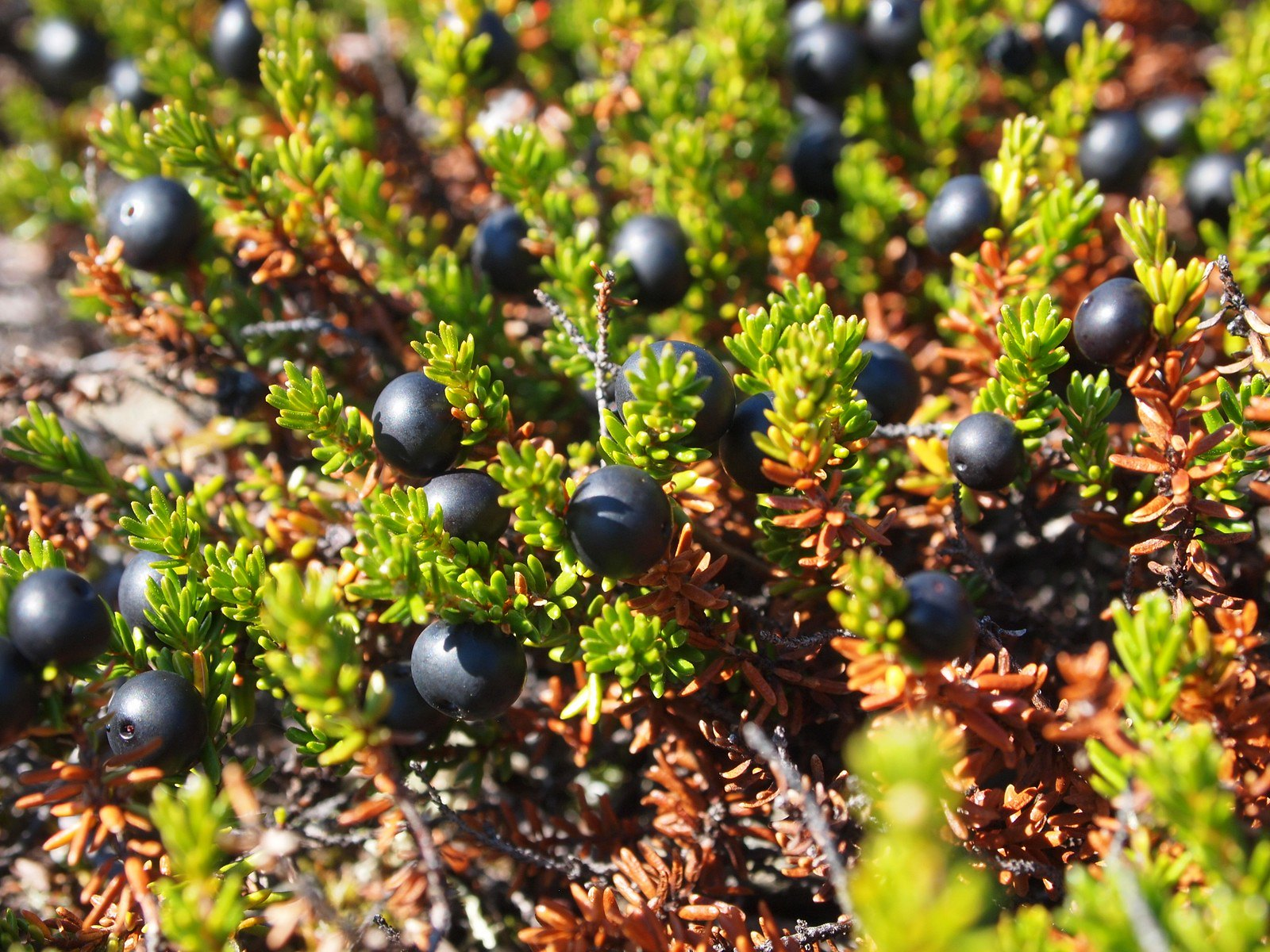 The Crowberry