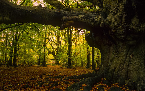 Harry Potter Tree  - (Goblet of Fire movie), Ashridge Forest, UK | Giant Pollarded Beech Tree in Autumn (6 of 9) | by ukgardenphotos