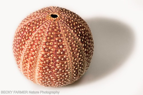 White sea urchin shell - photo#24