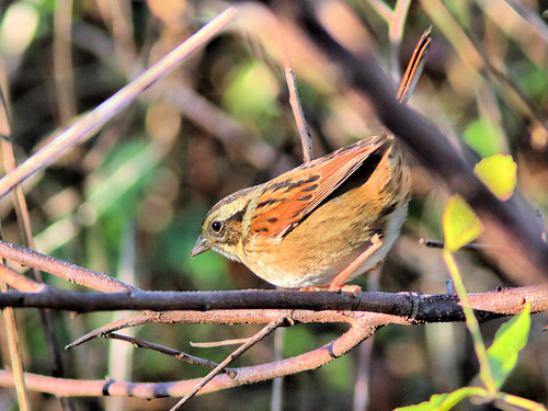 Swamp Sparrow HDR 01-20161122