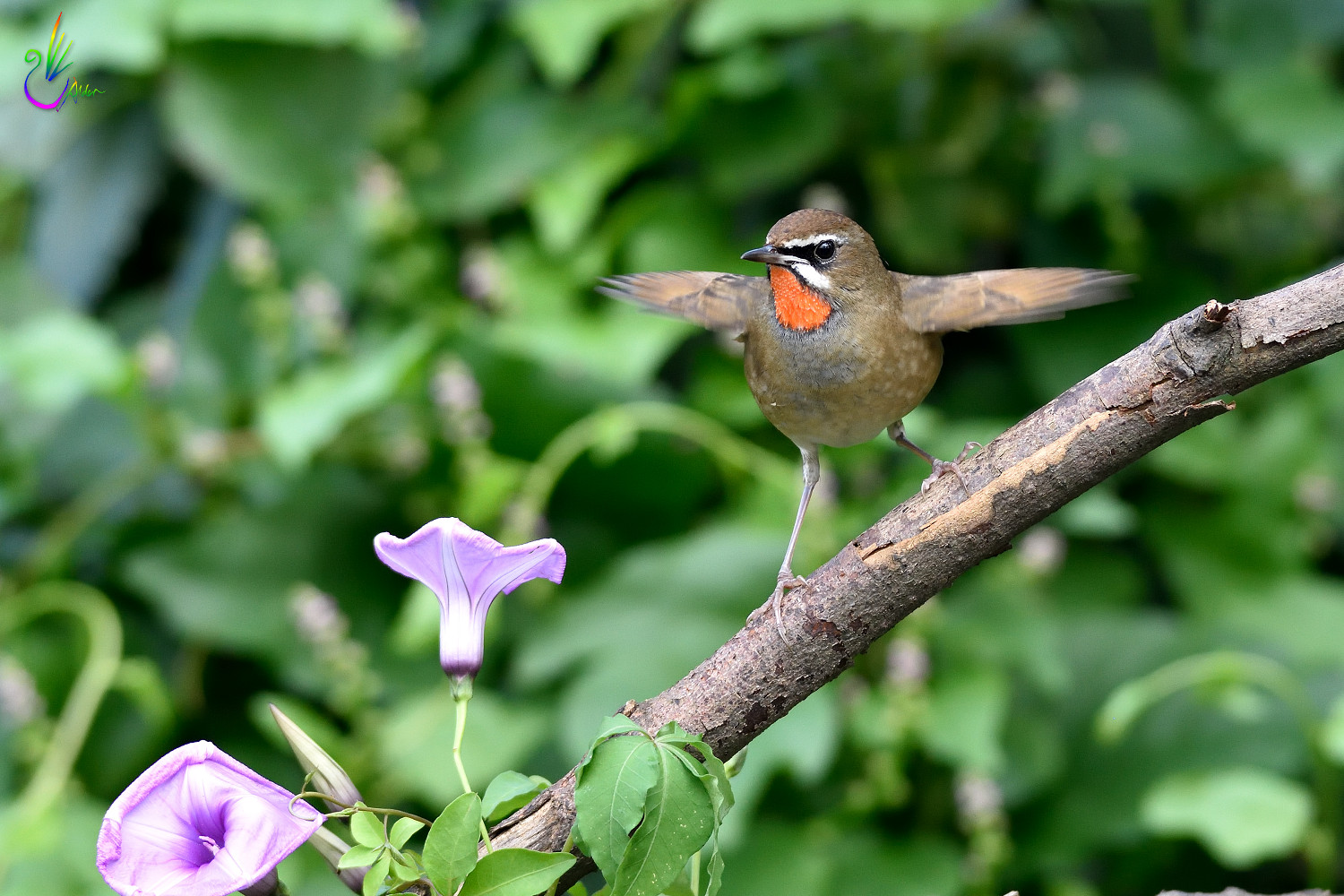 Rubythroat_2695