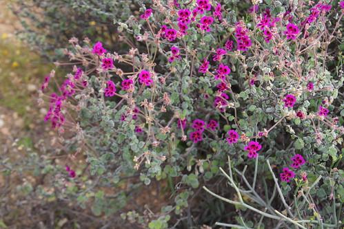 Pelargonium magenteum