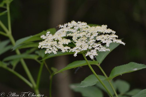 Sambucus canadensis (Common Elder)