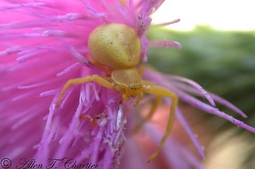 Misumena vatia (Goldenrod Crab Spider)