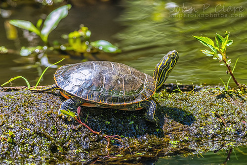 Chrysemys picta belli (Western Painted Turtle)