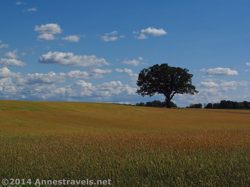 Lone tree in a field along the Genesee Valley Greenway, Monroe County, New York