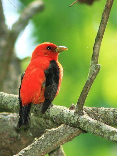 Scarlet Tanager 20140520