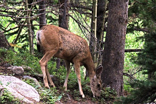 IMG_9234_Mule_Deer_on_Trail_to_Alberta_Falls