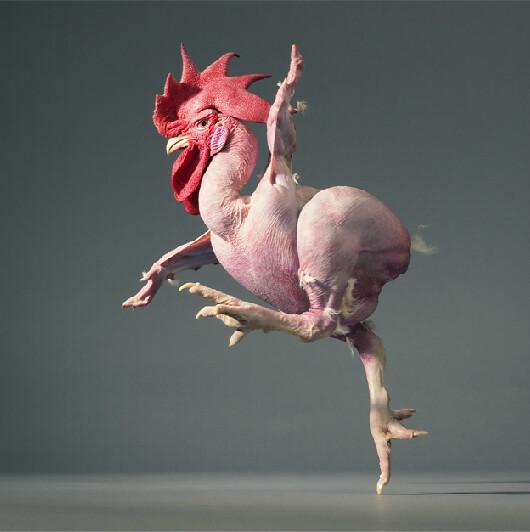 tim flach featherless chicken 2012 dancing chicken flickr