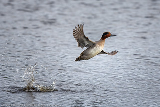 Teal (Anas crecca) male taking off | by Richard Nicoll