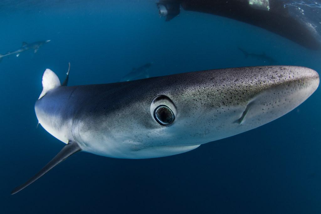 blue sharks august 30 2016 54a6155 jpg saeed rashid flickr