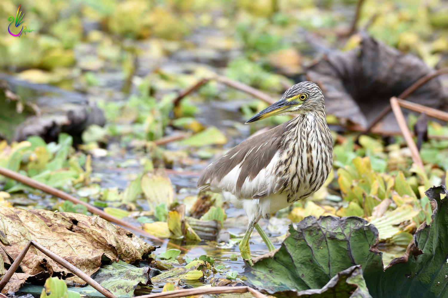 Chinese_Pond_Heron_3333
