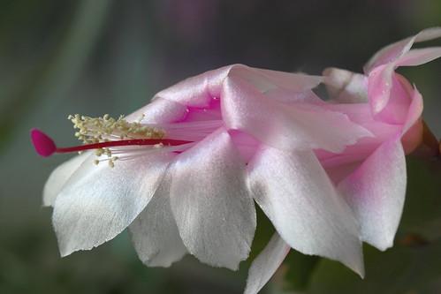 Cactus de navidad schlumbergera truncatus mariluz for Cactus de navidad
