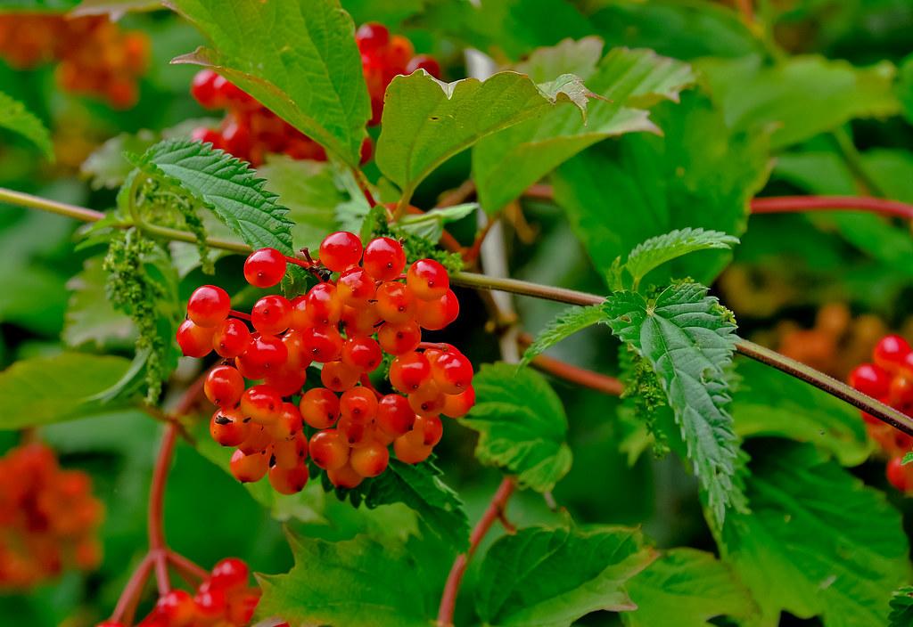 Guelder Rose Berries