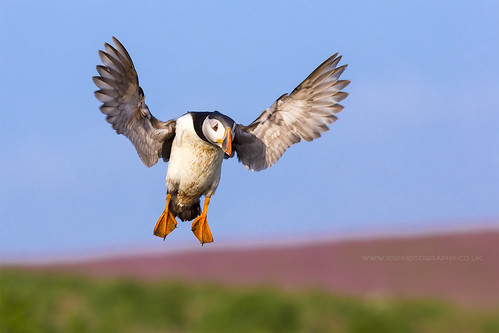 Puffin Landing with Red Campion on Skomer Island | by iesphotography