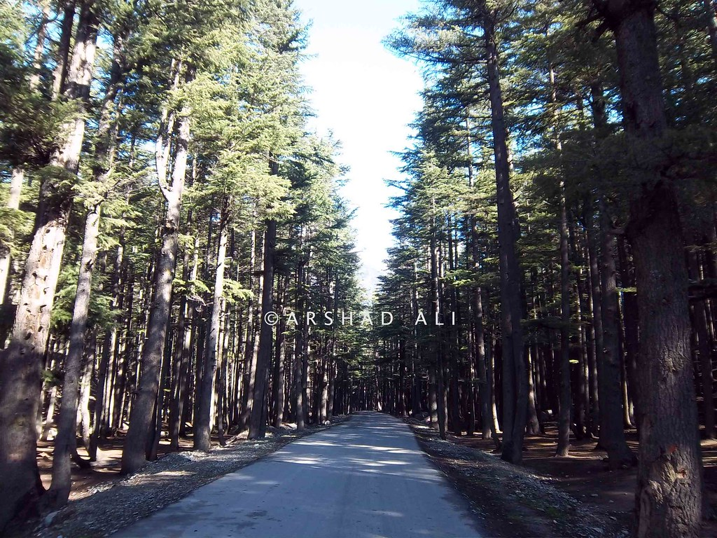 ... Road to Ushu through a thickly wooded forest, Kalam valley, Swat, Pakistan |
