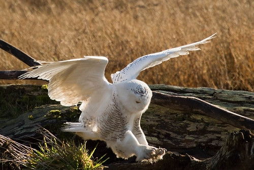 SnowyOwls20120201_50 | by orca_bc