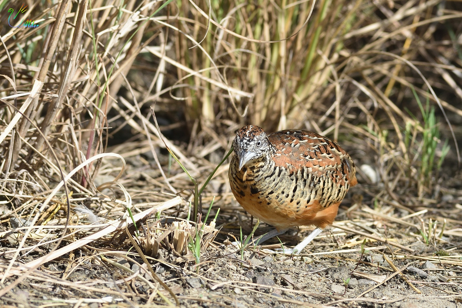 Barred_Buttonquail_2591