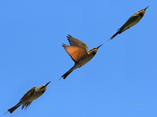 Rainbow Bee-eater composite