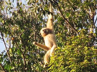 gibbon3 | by marknickton