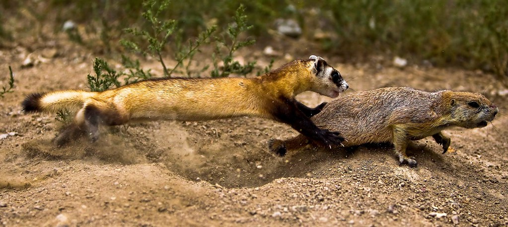 Black-footed Ferret Chasing Prairie Dog