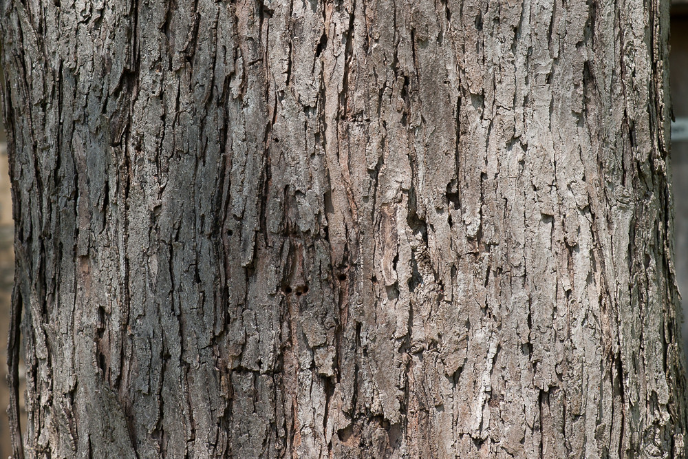 Acer Saccharinum Bark May 3 2014 Bob Gutowski Flickr