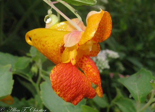Impatiens capensis (Spotted Jewelweed)