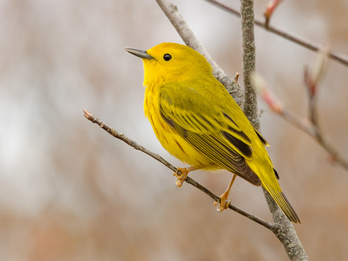 Yellow Warbler | by PeterBrannon