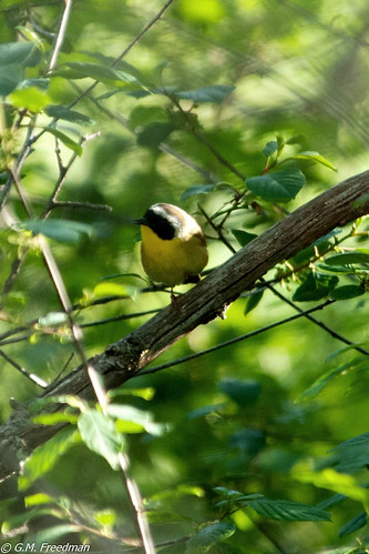 Common Yellowthroat | by kingfisherchatters