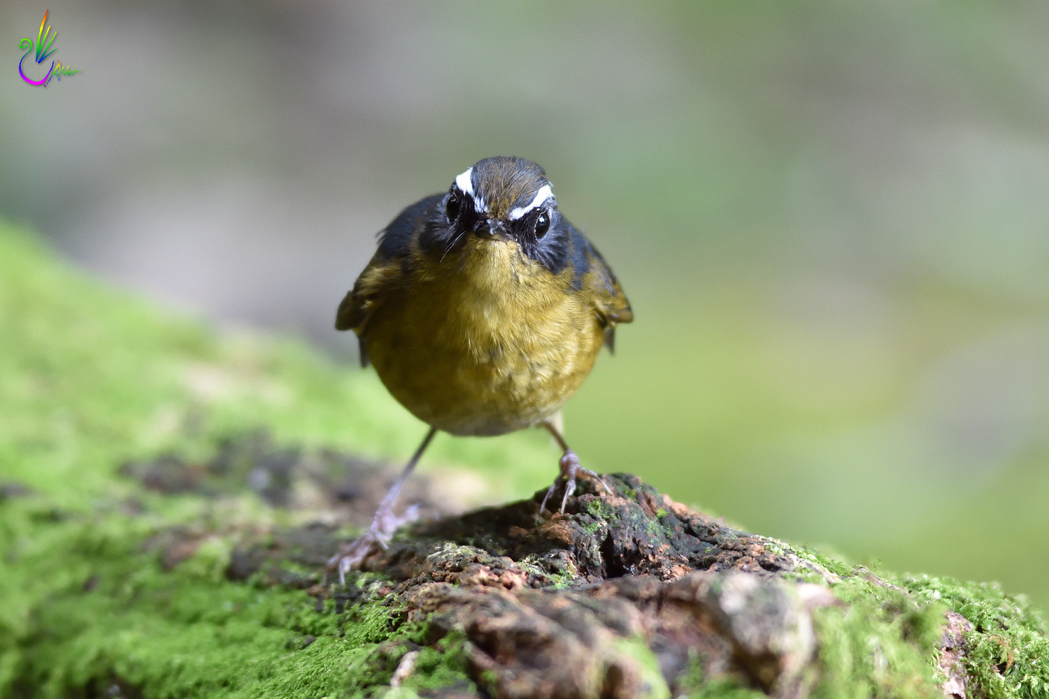 White-browed_Bush_Robin_0112