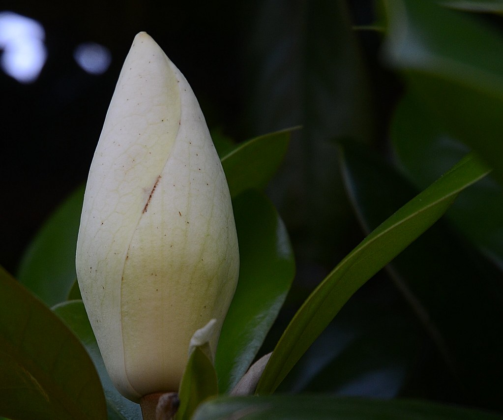 Southern Magnolia Tree Bud My Southern Magnolia Tree Is Lo Flickr