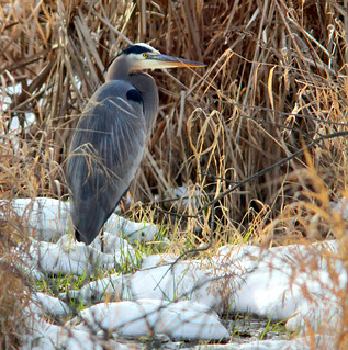 Great Blue Heron and Snow | by jeffreyfoltice