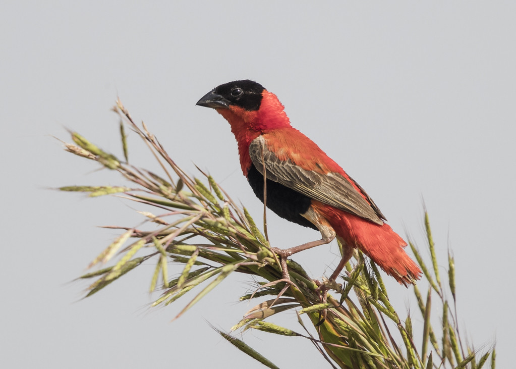 Northern Red Bishop     The Gambia 2016