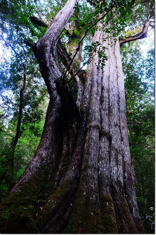 司馬庫斯巨木群巨木 3