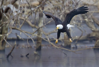 Bald Eagle Fishing... | by Mike Martin, Wildlife Photography