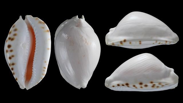 Zoila marginata albanyensis - L. Raybaudi, 1985 - Page 2 30354138552_524609dccb_z