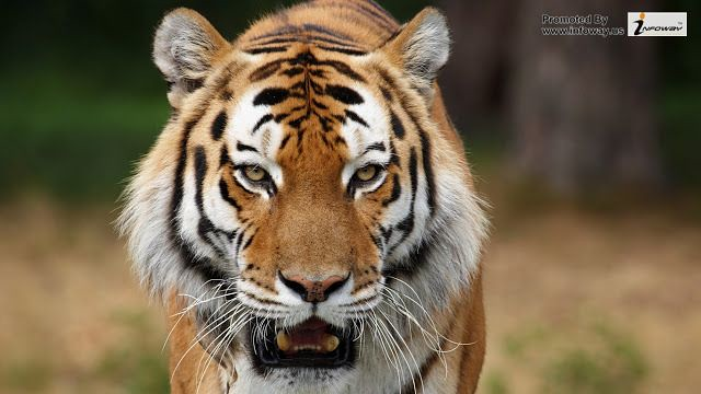 Amazing Tiger Wallpapers Widescreen Hd
