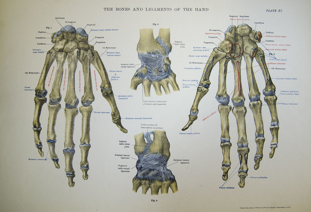 The Bones And Ligaments Of The Hand Bones And Ligaments Of Flickr