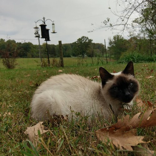 Miss Sassy is enjoying this #autumnday before the #rain moves in.   #nofilter #catsofinstagram #siamese #cat #siamesecat #divakitty #kitteh #divakitteh #fiveoaks #dantesspirit