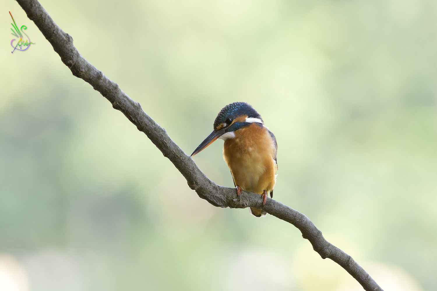 Common_Kingfisher_4006