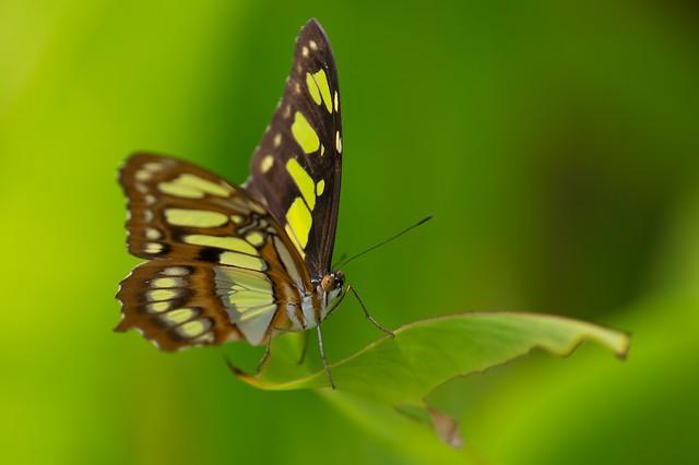 Butterfly (Malachite - Siproeta Stelenes)  [Explore]