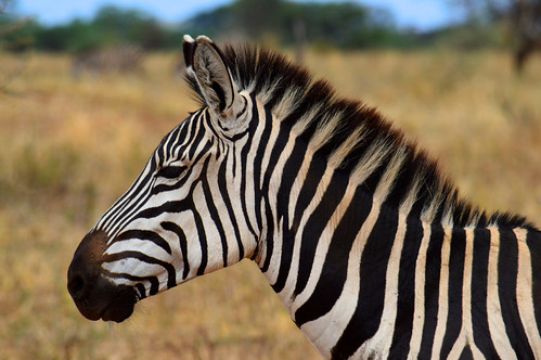 Zebra Profile | by mcoughlin