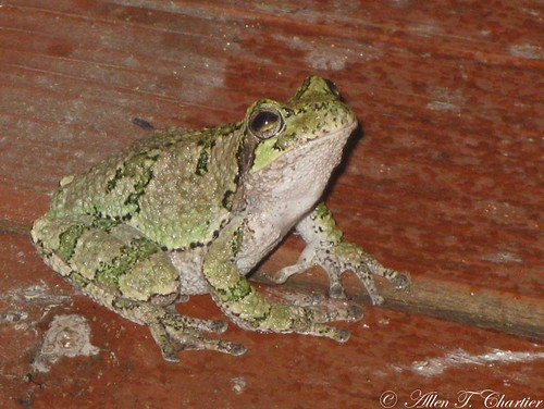 Hyla versicolor (Eastern Gray Treefrog)