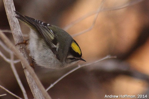 Regulus satrapa (Golden-crowned Kinglet)