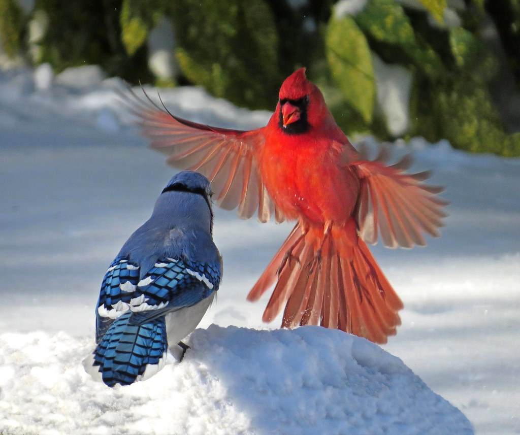 Cardinal And Blue Jay Confrontation This Shot Was Taken A Flickr