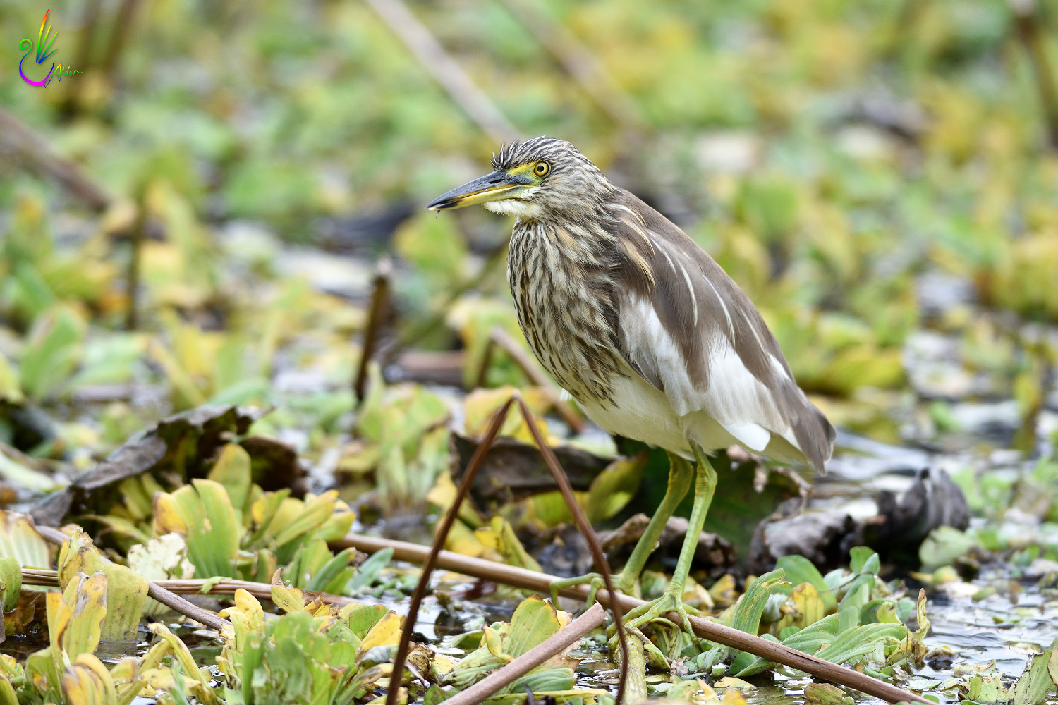 Chinese_Pond_Heron_3210