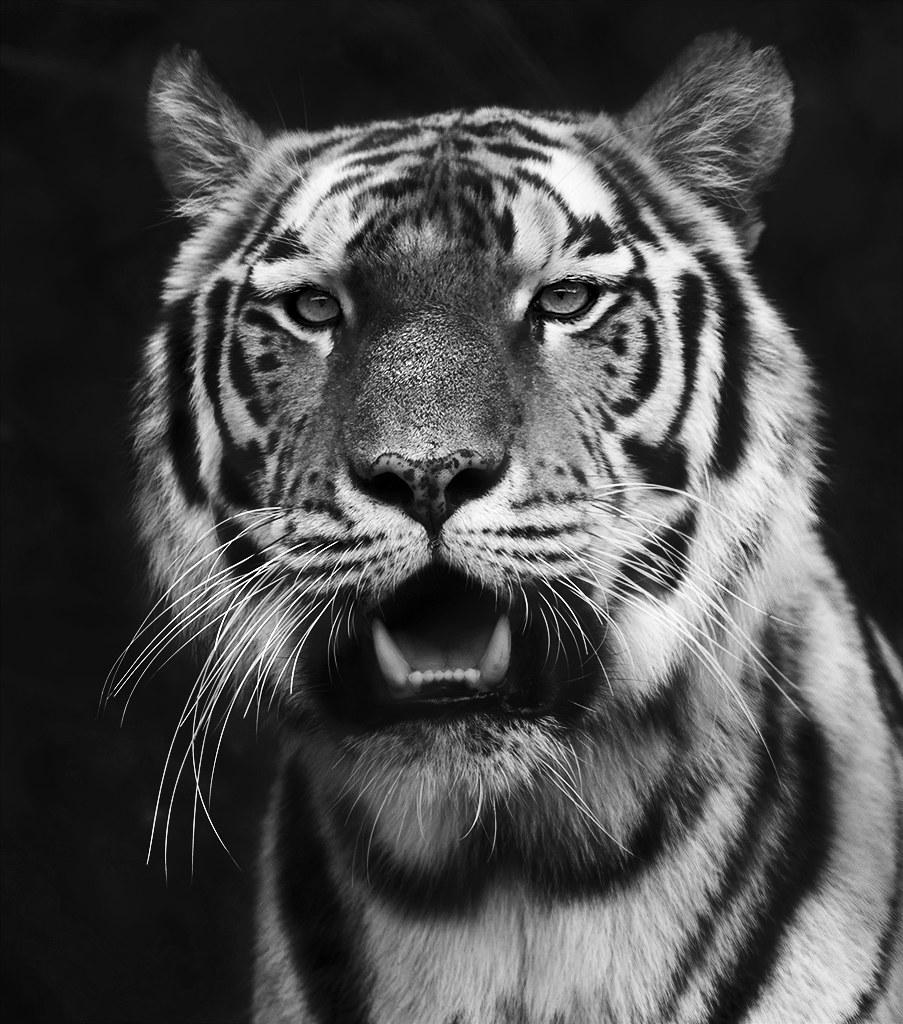 tiger black and white | marcus holmqvist | flickr