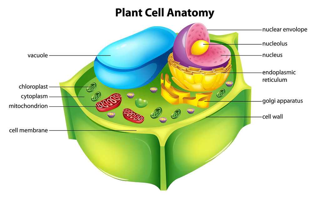 Plant cell anatomy | Illustration showing the plant cell ana ...