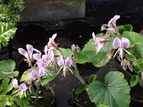 Pelargonium cordifolium, blooming cuttings